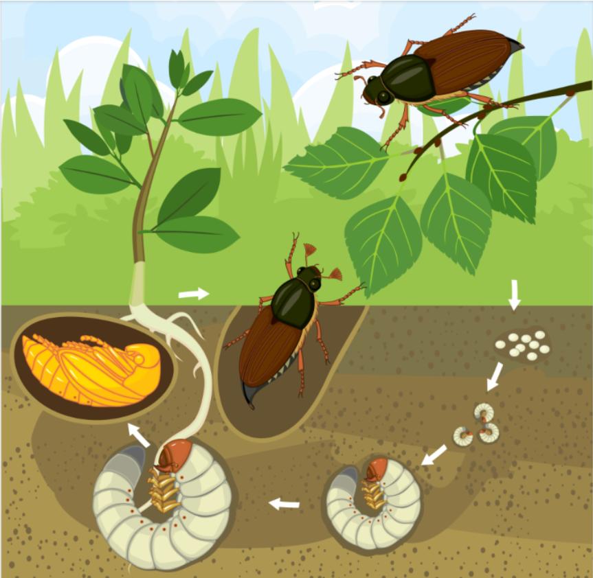 Средства от майского жука