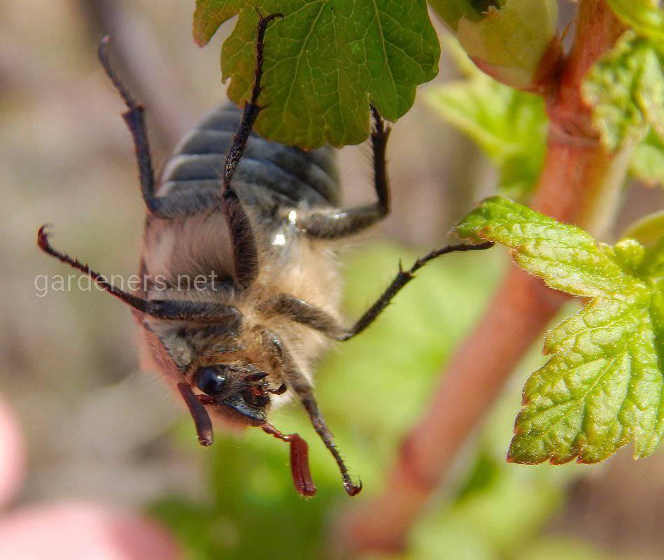 Как весной избавиться от надоедливых майских жуков? Три эффективных метода