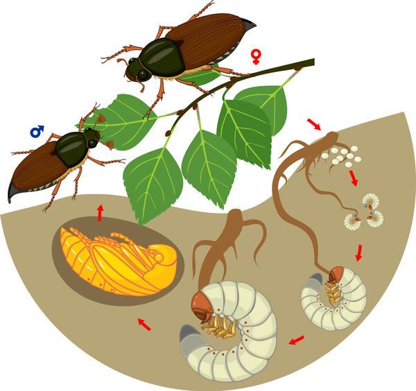 Почвообитающие вредители – хрущи
