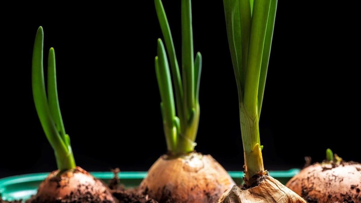 Лук на зелень: когда и как правильно высаживать