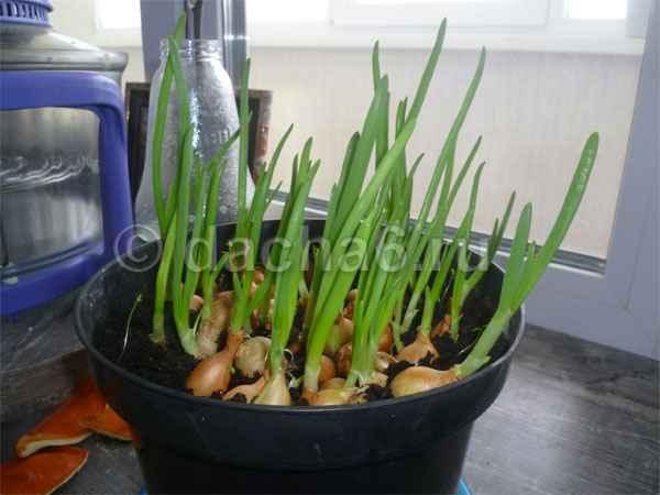 Как вырастить лук на подоконнике в земле зимой
