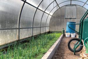 Бизнес на выращивании зеленого лука. Основные советы для начинающих