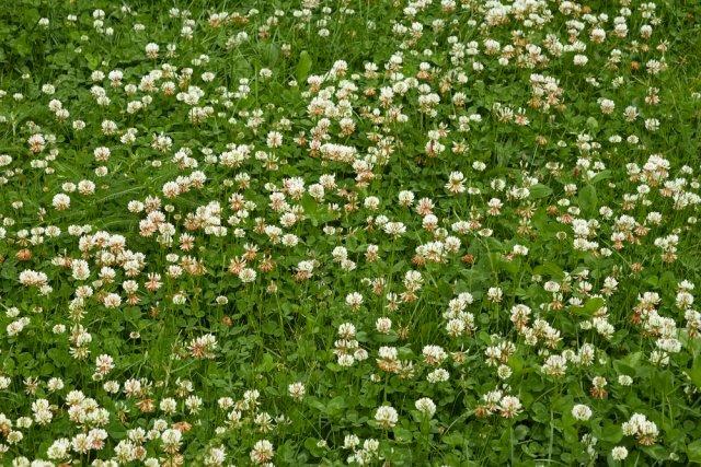 Травы для газона – какие бывают и что выбрать