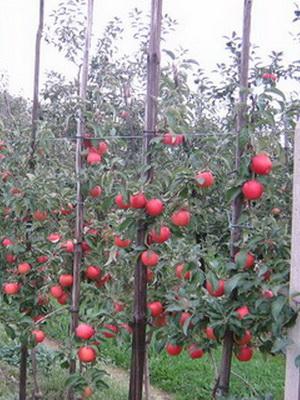 Чем занять пространство между плодовыми деревьями и ягодными кустарниками
