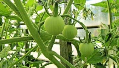 Когда поливать томаты метронидазолом, коровяком, навозом
