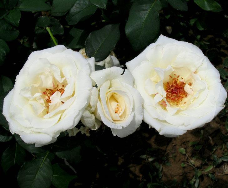 Чайно-гибридная роза «Маунт Шаста»: описание сорта, посадка и уход