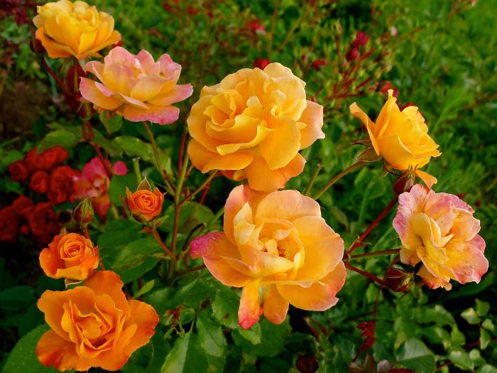 Чем отличаются розы флорибунда от чайно-гибридных