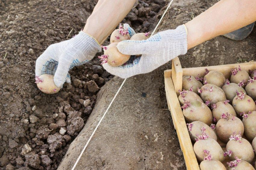 Сроки созревания картофеля от посадки до сбора урожая