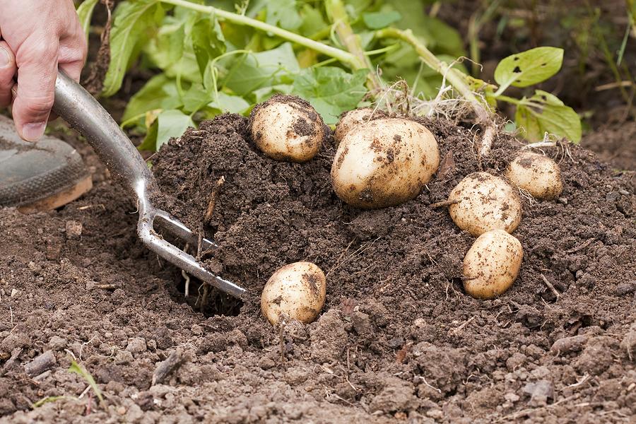 Главные причины почему картофель долго не всходит