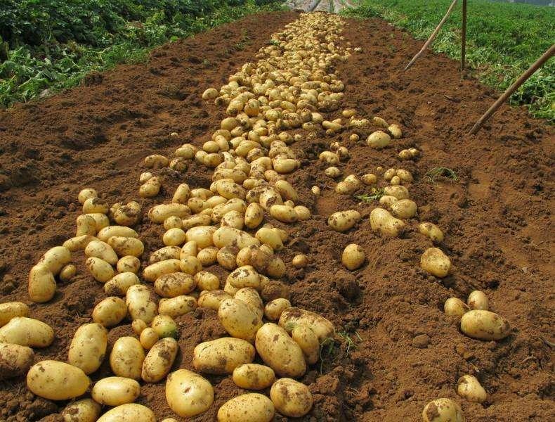 Почему не всходит картофель