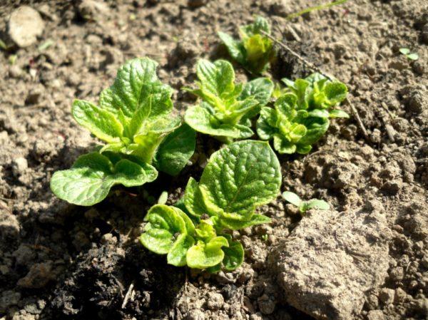Уход за картофелем после всходов: полезные советы