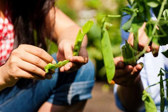 Что посадить после картофеля на следующий год и с чем его совместить