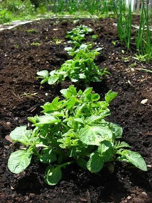 Что сажать после картофеля? Несколько правил чередования культур