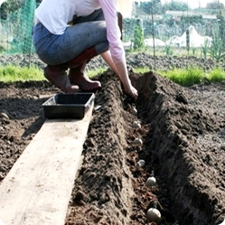 Как посадить картофель: четыре самых известных способа
