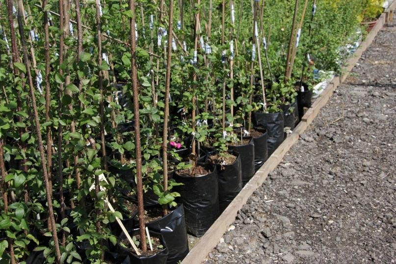 Как правильно посадить плодовые деревья на своём участке
