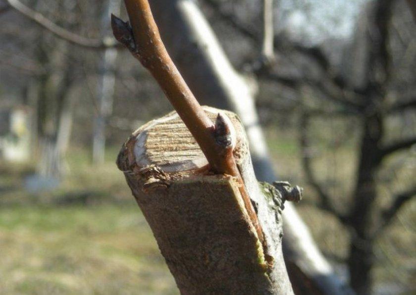 Как привить грушу: сроки, когда лучше прививать грушу весной или осенью, пошаговое руководство