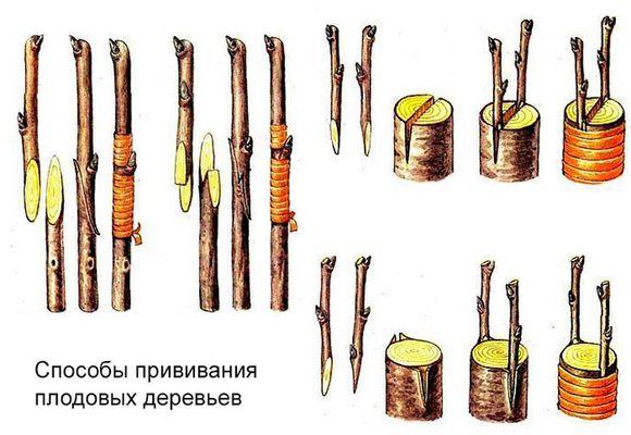 Пошаговая инструкция прививки груши для начинающих