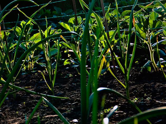 Лук: выгонка и выращивание лука на зелень (на перо)