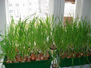 Как вырастить зелёный лук на подоконнике