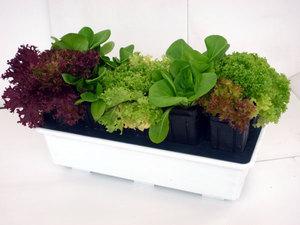 Правила выращивания зелени на балконе и подоконнике