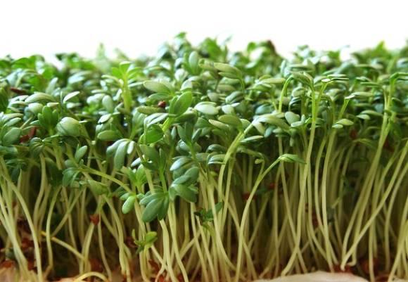 Вырастить салат зимой на подоконнике? Легко