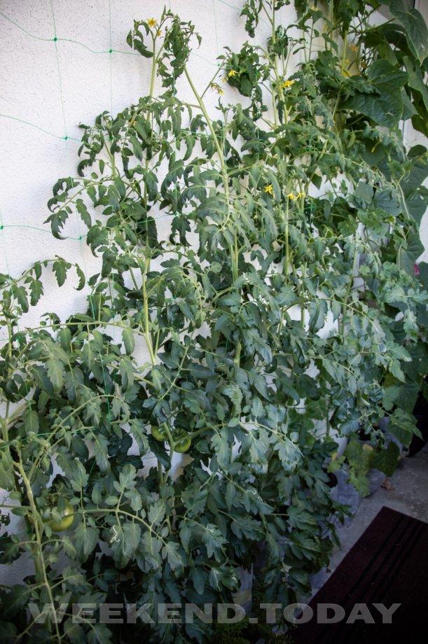Как вырастить салат из покупного в горшочке — фото и советы