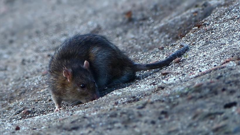Что делать, если в доме нашествие крыс