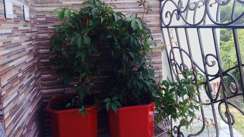 Выращивание винограда на балконе круглый год