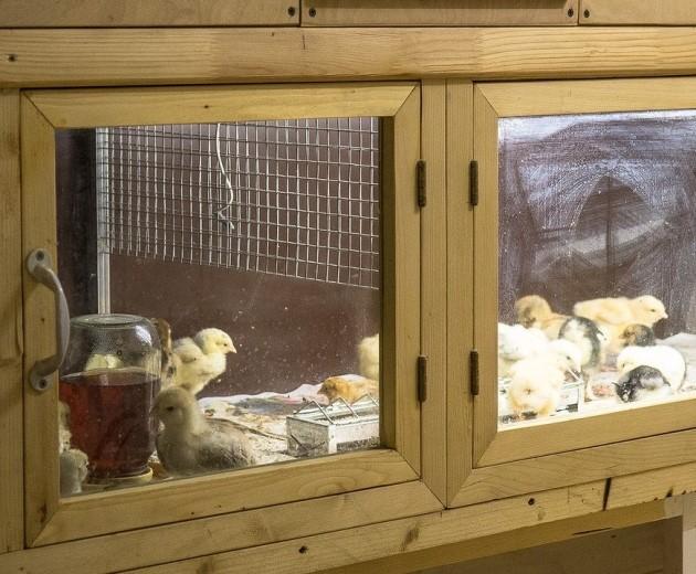 Самодельный брудер – детский садик для цыплят легко и просто