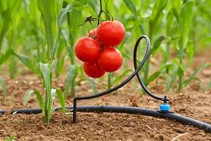 Простейший капельный полив для огорода своими руками. Вариант доступный для всех