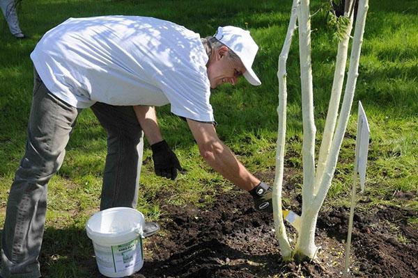 Как правильно побелить деревья известью с медным купоросом