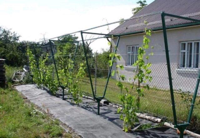 Опора для винограда своими руками на даче: фото, схема, размеры