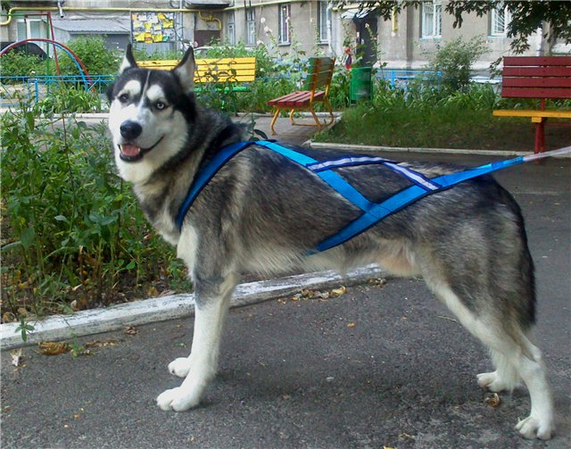 Шлейка для собаки своими руками: выкройки, процесс пошива