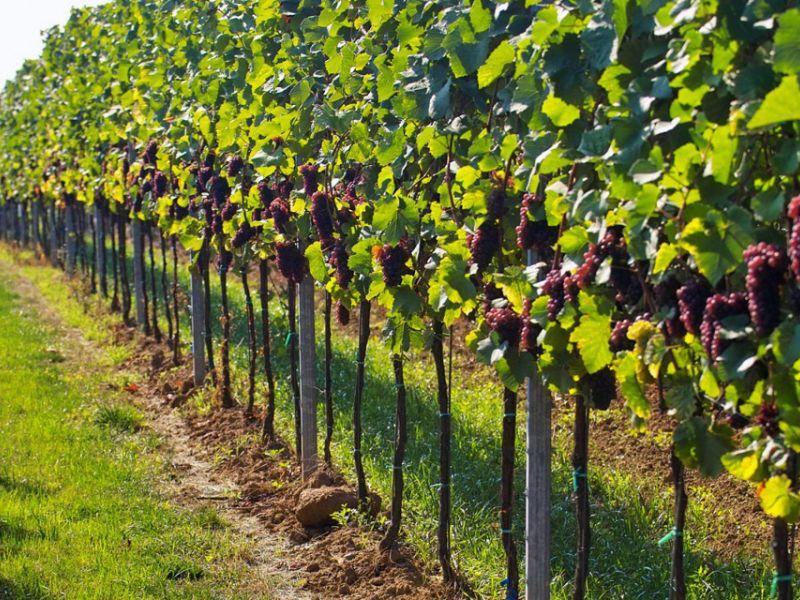 Как сделать шпалеру для винограда: подробная инструкция по изготовлению разных видов своими руками