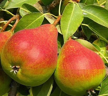 Как вылечить Повреждения Коры Плодовых Деревьев